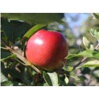 Apfel 'Ecolette' (S), Stamm 40-60 cm, 120-160 cm, Malus 'Ecolette' (S), Containerware