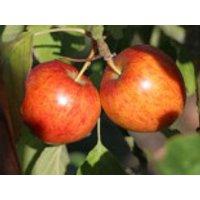 Apfel 'Geheimrat Dr. Oldenburg', Stamm 40-60 cm, 120-160 cm, Malus 'Geheimrat Dr. Oldenburg', Containerware