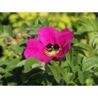 Apfelrose / Kartoffelrose / Hagebutte, 15-20 cm, Rosa rugosa, Topfware