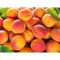 Aprikose 'Clarina', Stamm 40-60 cm, 120-160 cm, Prunus armeniaca 'Clarina', Containerware