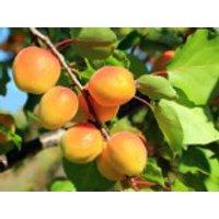 Aprikose 'Hargrand', Stamm 40-60 cm, 120-160 cm, Prunus armeniaca 'Hargrand', Containerware