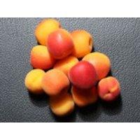 Aprikose 'Harlayne' ®, Stamm bis 60 cm, 120-160 cm, Prunus armeniaca 'Harlayne' ®, Containerware