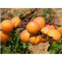 Aprikose 'Ungarische Beste', 100-125 cm, Prunus armeniaca 'Ungarische Beste', Containerware