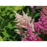 Gehölzrand - Arends Prachtspiere 'Astary Pink' ®, Astilbe x arendsii 'Astary Pink' ®, Topfware