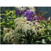 Gehölzrand - Arends Prachtspiere 'Astary White' ®, Astilbe x arendsii 'Astary White' ®, Topfware