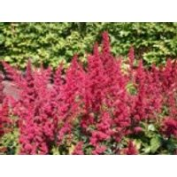 Arends Prachtspiere 'Fanal', Astilbe x arendsii 'Fanal', Containerware