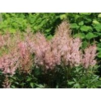 Gehölzrand - Arends Prachtspiere 'Look at me' ®, Astilbe x arendsii 'Look at me' ®, Topfware