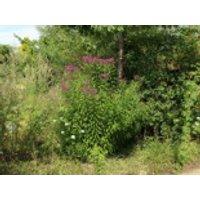 Stauden - Arkansas-Scheinaster 'Mammuth', Vernonia crinita 'Mammuth', Topfware