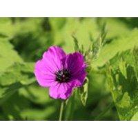 Armenischer Storchschnabel, Geranium psilostemon, Topfware