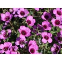 Aschgrauer Storchschnabel 'Jolly Jewel Night', Geranium cinereum 'Jolly Jewel Night', Topfware