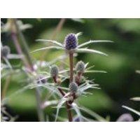 Atlas-Mannstreu, Eryngium variifolium, Topfware