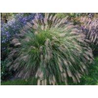 Australisches Lampenputzergras, Pennisetum alopecuroides, Topfware