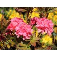 Laubabwerfende Azalee 'Kilian', 30-40 cm, Rhododendron luteum 'Kilian', Containerware