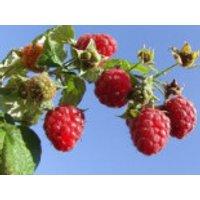 Himbeere 'Malling Promise', 30-40 cm, Rubus idaeus 'Malling Promise', Containerware