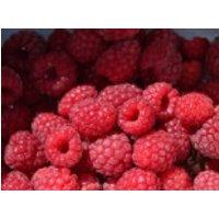 Himbeere 'Meeker' ®, 40-60 cm, Rubus idaeus 'Meeker' ®, Containerware