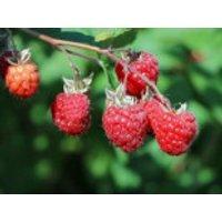 Himbeere 'ZEFA 3 Herbsternte' Zewa, 40-60 cm, Rubus idaeus 'ZEFA 3 Herbsternte', Containerware