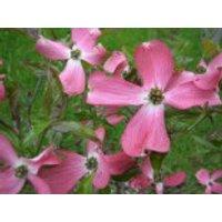 Blütensträucher und Ziergehölze - Amerikanischer Blumen-Hartriegel 'Sweetwater', 40-60 cm, Cornus florida 'Sweetwater', Containerware