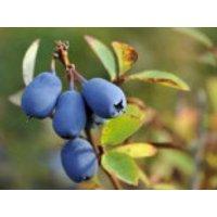 Honigbeere / Sibirische Blaubeere 'Blue Velvet', 20-30 cm, Lonicera kamtschatica 'Blue Velvet', Containerware