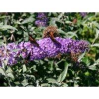 Sommerflieder / Schmetterlingsstrauch 'Lochinch', 40-60 cm, Buddleja davidii 'Lochinch', Containerware