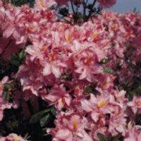 Laubabwerfende Azalee 'Raimunde', 25-30 cm, Rhododendron luteum 'Raimunde', Containerware