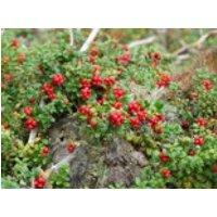 Preiselbeere 'Red Pearl', 15-20 cm, Vaccinium vitis-idaea 'Red Pearl', Containerware