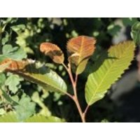 Esskastanie 'Annys Summer Red', 80-100 cm, Castanea sativa 'Annys Summer Red', Containerware