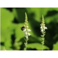 Leinkraut 'Springside White', Linaria purpurea 'Springside White', Topfware