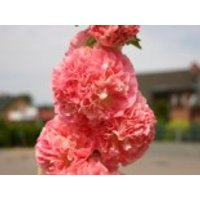 Gefüllte Stockrose dunkelrosa, Alcea rosea 'Pleniflora' dunkelrosa, Topfware