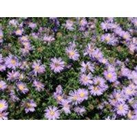 Glattblatt-Aster 'Blütenmeer', Aster novi-belgii 'Blütenmeer', Topfware