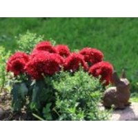 Winteraster 'Vesuv', Chrysanthemum x hortorum 'Vesuv', Topfware