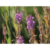 Purpurblütiges Leinkraut, Linaria purpurea, Topfware