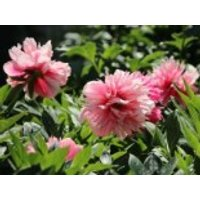 Bauerngarten-Pfingstrose 'Rosea Plena', Paeonia officinalis 'Rosea Plena', Topfware