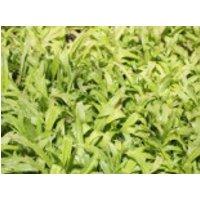 Immergrüne Breitblatt-Segge, Carex plantaginea, Topfware