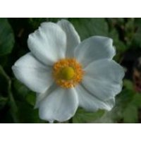Herbst-Anemone 'Andrea Atkinson', Anemone japonica 'Andrea Atkinson', Containerware