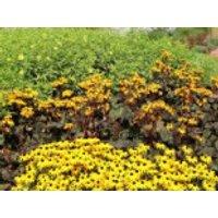 Strauß-Goldkolben 'Britt-Marie Crawford' ®, Ligularia dentata 'Britt-Marie Crawford' ®, Topfware