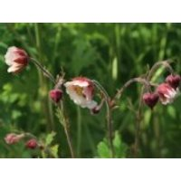 Bach-Nelkenwurz 'Pink Frills', Geum rivale 'Pink Frills', Topfware