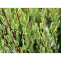 Bach- / Purpurweide, 60-100 cm, Salix purpurea, Containerware