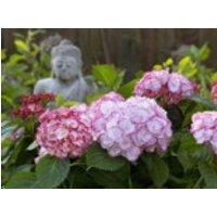 Blütensträucher und Ziergehölze - Ballhortensie 'Angelika', 10-15 cm, Hydrangea macrophylla 'Angelika', Containerware