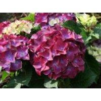 Blütensträucher und Ziergehölze - Ballhortensie 'Hot Red Purple' ®, 30-40 cm, Hydrangea macrophylla 'Hot Red Purple' ®, Containerware