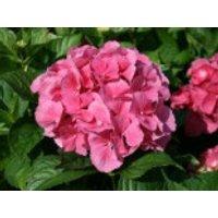Blütensträucher und Ziergehölze - Ballhortensie 'Masja' / 'Sibilla' (rot), 20-30 cm, Hydrangea macrophylla 'Masja' / 'Sibilla' (rot), Containerware