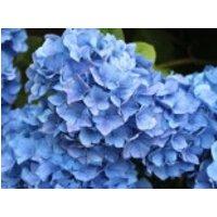 Blütensträucher und Ziergehölze - Ballhortensie 'Mathilde Gütges' (blau), 30-40 cm, Hydrangea macrophylla 'Mathilde Gütges' (blau), Containerware
