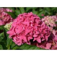 Blütensträucher und Ziergehölze - Ballhortensie 'Tovelit', 20-30 cm, Hydrangea macrophylla 'Tovelit', Containerware