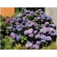 Blütensträucher und Ziergehölze - Ballhortensie (Blau), 25-30 cm, Hydrangea macrophylla (Blau), Containerware