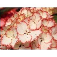 Blütensträucher und Ziergehölze - Ballhortensie Charming by Magical ® 'Lisa' (Weiß-Rot), 25-40 cm, Hydrangea macrophylla Charming by Magical ® 'Lisa' (Weiß-Rot), Containerware