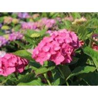Blütensträucher und Ziergehölze - Ballhortensie 'Diva fiore' ® (Rosa), 10-15 cm, Hydrangea macrophylla 'Diva fiore' ® (Rosa), Containerware