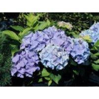 Blütensträucher und Ziergehölze - Ballhortensie Everbloom ® 'Blue Wonder' ®, 30-40 cm, Hydrangea macrophylla Everbloom ® 'Blue Wonder' ®, Containerware