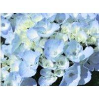 Blütensträucher und Ziergehölze - Ballhortensie 'Generale Vicomtesse de Vibraye', 20-30 cm, Hydrangea macrophylla 'Generale Vicomtesse de Vibraye', Containerware