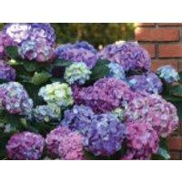 Blütensträucher und Ziergehölze - Ballhortensie 'L.A. Dreamin' ®, 30-40 cm, Hydrangea macrophylla 'L.A. Dreamin' ®, Containerware