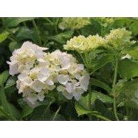 Blütensträucher und Ziergehölze - Ballhortensie 'Madame E. Moulliere', 20-30 cm, Hydrangea macrophylla 'Madame E. Moulliere', Containerware