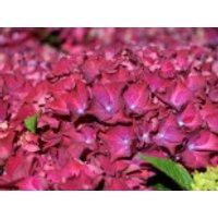 Blütensträucher und Ziergehölze - Ballhortensie 'Red Beauty' (Lila), 30-40 cm, Hydrangea macrophylla 'Red Beauty' (Lila), Containerware